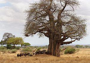 Monkey bread tree, Tarangire National Park in ...