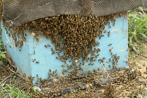 English: Bee overpopulation, Chambal, India. F...
