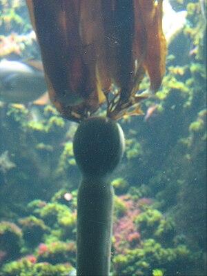Bull kelp (Nereocystis luetkeana) in the Stein...