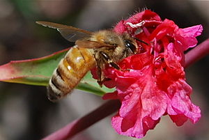 English: a honey bee on a flower in May