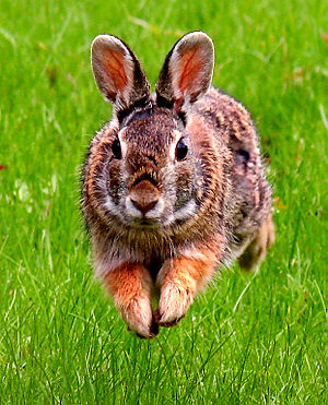 English: Eastern Cottontail