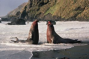 English: Bull elephant seals fighting over a h...