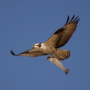 Osprey (sometimes known as the sea hawk) flyin...