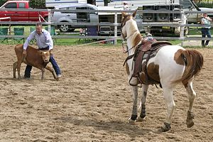 Calf roping at a rodeo.