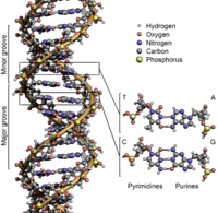 DNA Structure+Key+Labelled.png