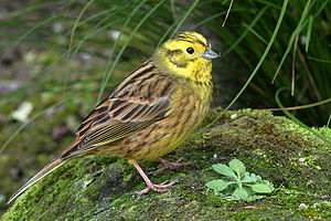 A Yellowhammer on North Island, New Zealand.