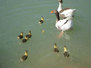English: Geese and gosling in an artificial la...