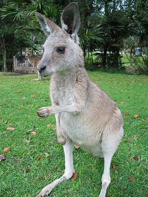 A Kangaroo in Australia.