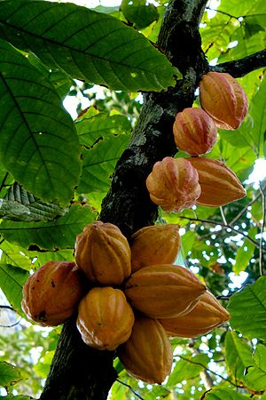 English: Cacao (Theobroma cacao) Español: Plan...