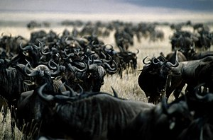Connochaetes taurinus, Ngorongoro Crater, Wild...