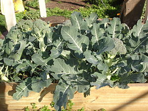 A picture of my Broccoli patch in Melbourne, A...