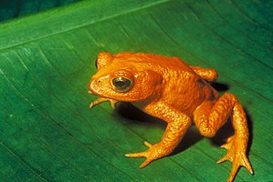 Description: Golden Toad (Bufo periglenes) †. ...