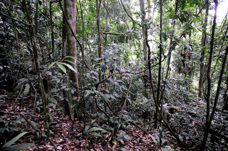 File:Bukit-jungle 09N8618.jpg