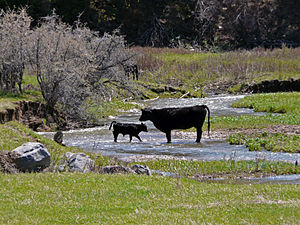 Bull calf and mama cow in Spring Creek