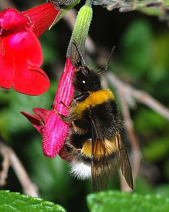 Bumblebee feeding om nectar (Bombus terrestris)