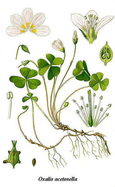 File:Cleaned-Illustration Oxalis acetosella.jpg