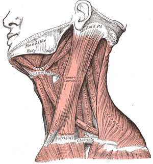 Mylohyoid muscle visible right under jaw