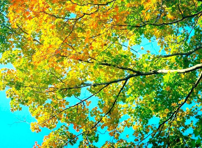 Maple trees turning color autumn