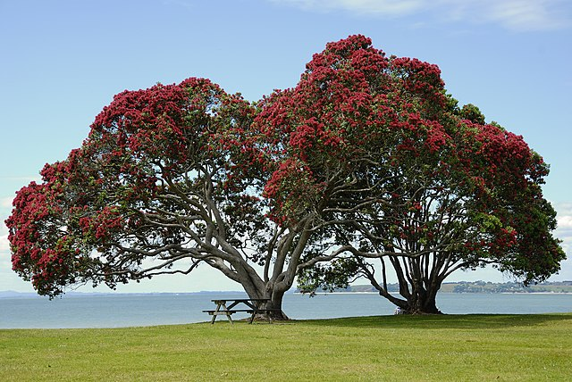The Pohutukawa Tree, also know as The New Zealand Christmas Tree, because it flowers right on time for Christmas.
