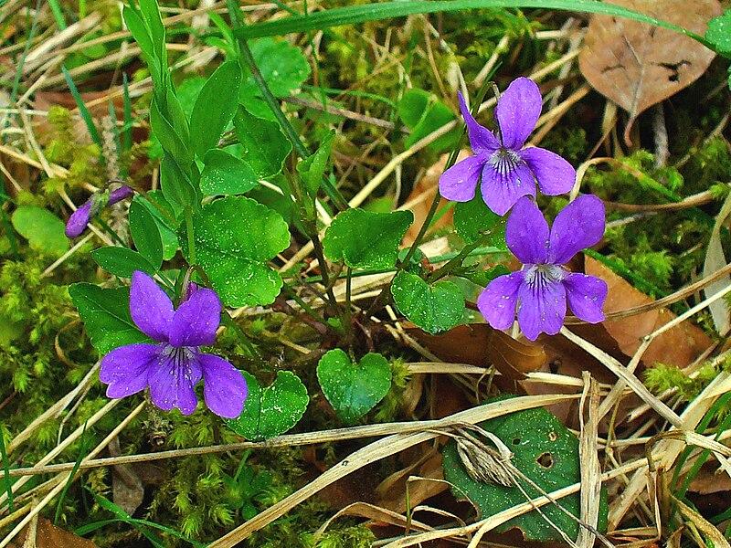 File:Viola reichenbachiana 001.jpg