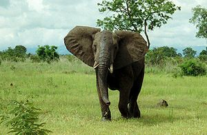 African Bush Elephant in Mikumi National Park,...