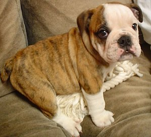 English: A male Bulldog puppy. Svenska: En han...