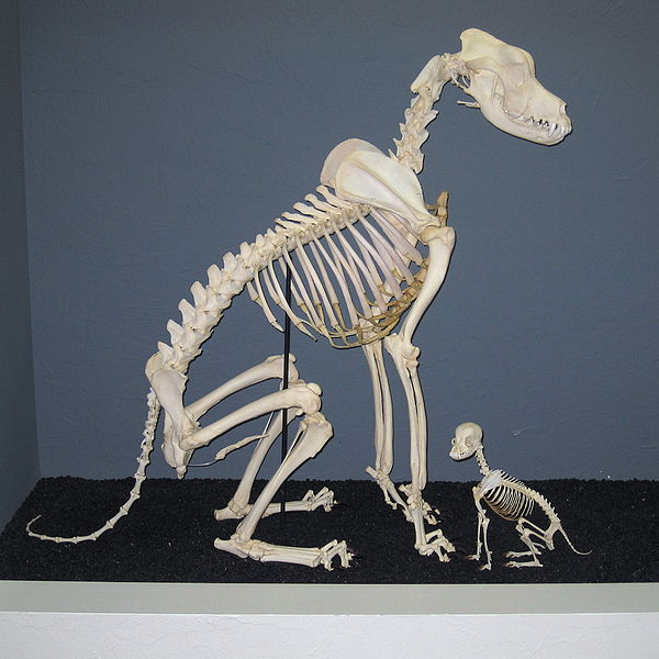 File:Great Dane and Chihuahua Skeletons.jpg