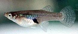 Mosquitofish.jpg