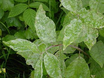 Plant-diseases - Salix