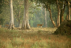 Spotted deer (Axis axis) at Kanha National Par...