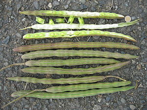 English: The elongated drumstick-like pods of ...