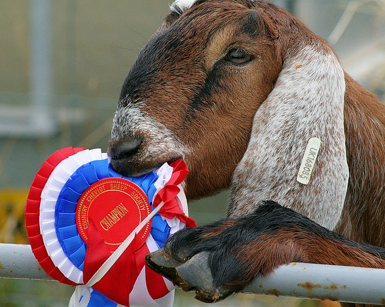 File:Goat eating ribbon.jpg