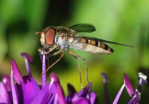 English: A female Marmelade Fly (Episyrphus ba...