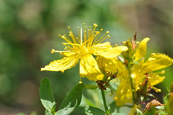 English: St John's wort in Bahrenfeld, Hamburg...