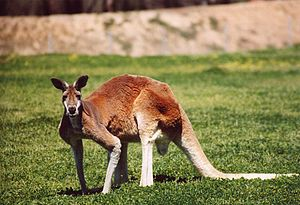 Red Kangaroo, photo taken at Western Plains Zo...