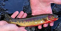 Small Golden Trout.jpg