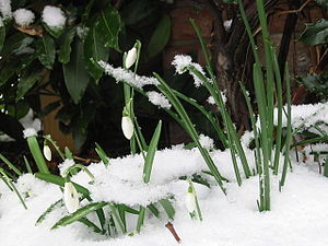 English: Galanthus nivalis, snowdrops in the s...