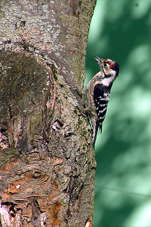Lesser Spotted Woodpecker (Picoides minor or D...