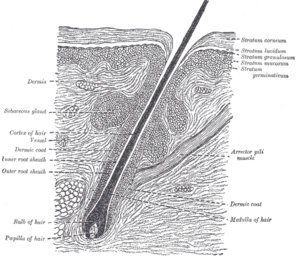 Diagram of a hair follicle, from Gray's Anatomy.