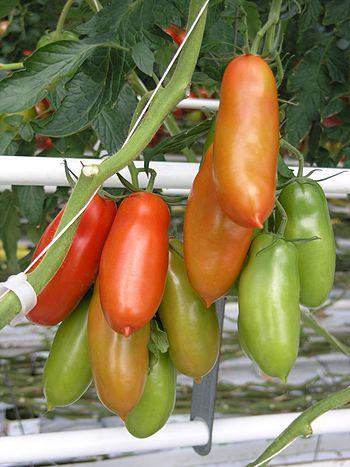 Tomatensorte Typ San Marzano