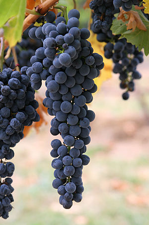 Wine grapes.