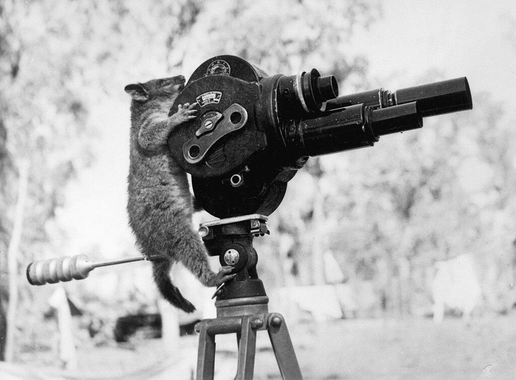 A possum and a movie camera 1943