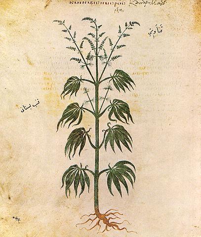 https://i2.wp.com/upload.wikimedia.org/wikipedia/commons/thumb/5/5f/Cannabissativadior.jpg/407px-Cannabissativadior.jpg