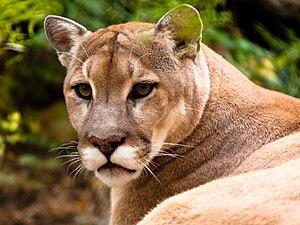 (Puma concolor) aka: Mountain Lion, Puma