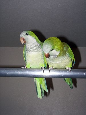 English: Monk Parakeet or Quaker Parrot (Myiop...