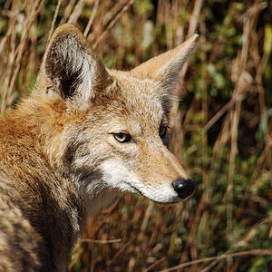 Coyote surveying her domain in the marin headl...