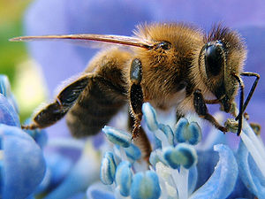 Western honey bee on a flower