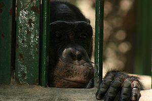 The only Chimpanzee at Saigon Zoo cuts a lonel...