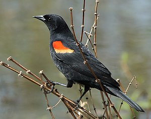 Agelaius phoeniceus English: Red-winged Blackb...