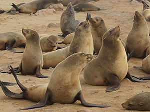 A colony of Cape Fur Seals at Cape Cross on th...